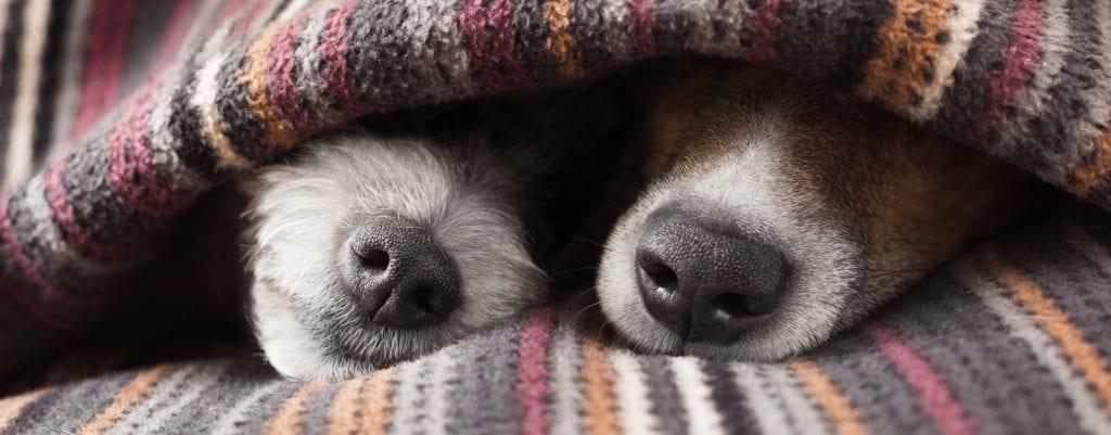 dog snouts under blanket