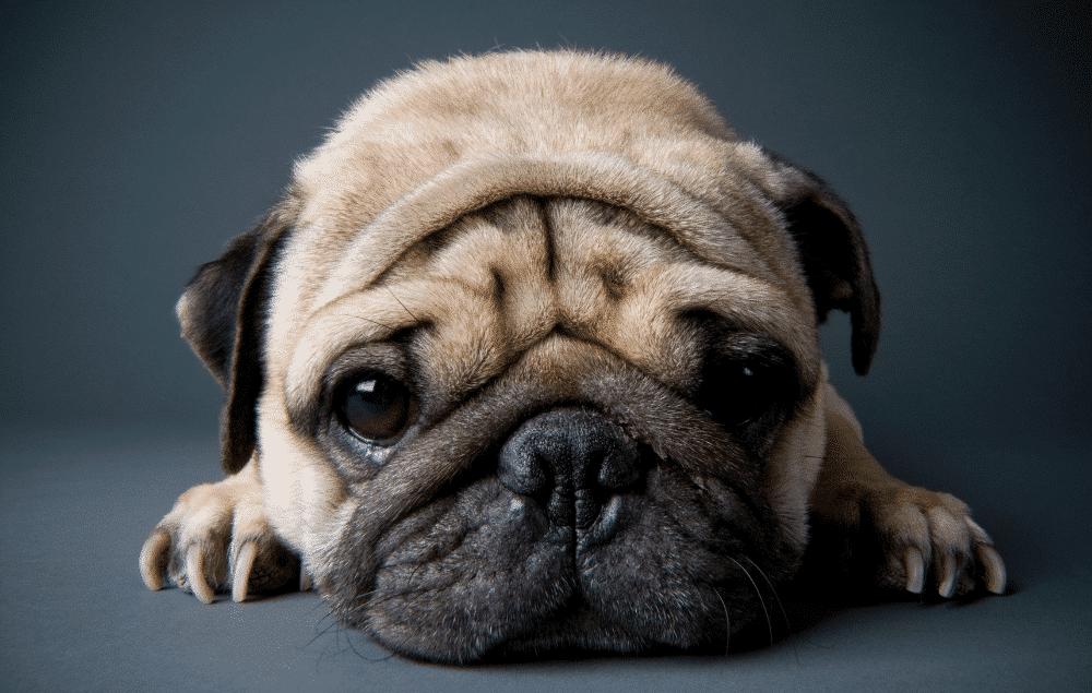 plaque buildup in dogs (short nose)
