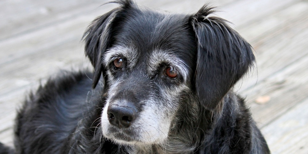 Picture of senior dog