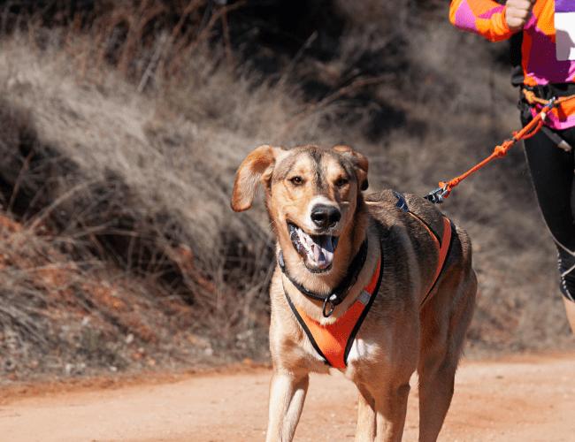 sporting dog running