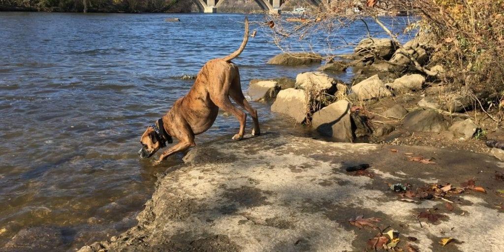 Dog drinking 2