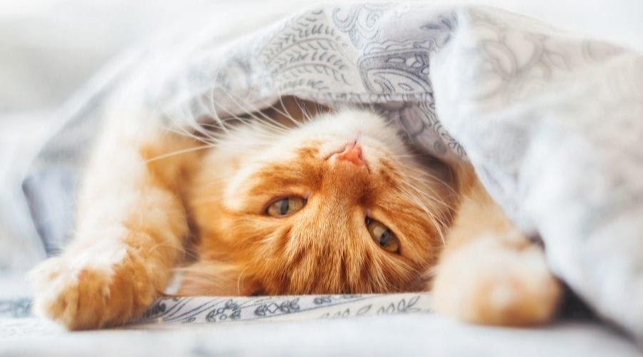 indoor cat lying on a bed